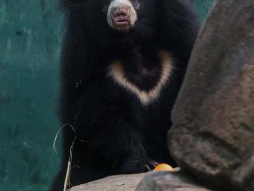 female sloth bear Remi