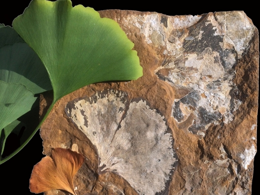Ginko leaf and ginko leaf fossil.