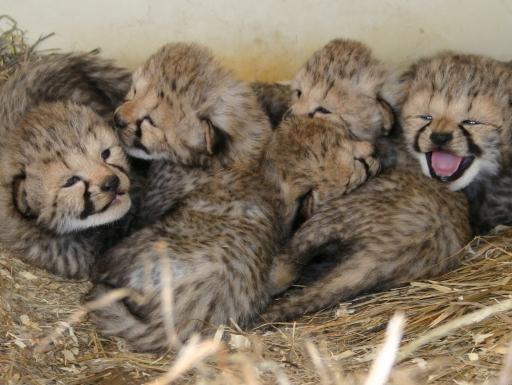 cheetah cubs born in 2017