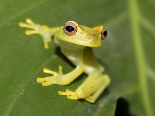 yellow frog on green leaf