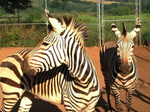 Zebras at SCBI