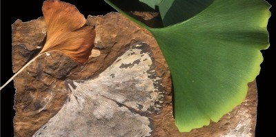 Fossil and modern Ginkgo leaves