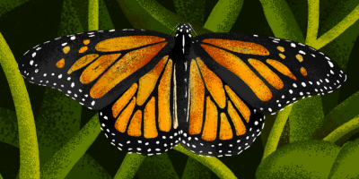 monarch butterfly illustration.