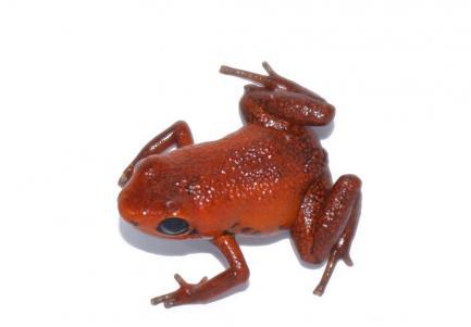 First Adinobates geminisae froglet hatched in captivity