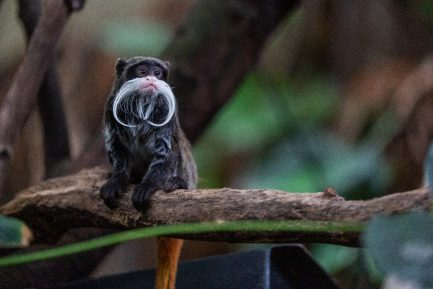 Emperor Tamarin looking to the side