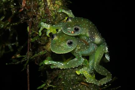 pair of green frogs on tree branch