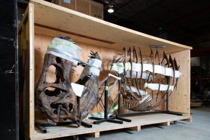 T rex fossil in crate