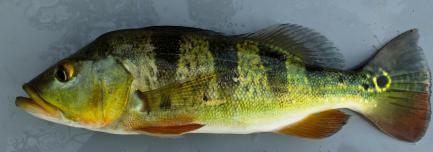 Striped fish specimen