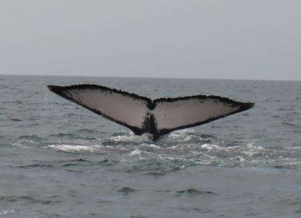 Humpback whale tail breeching