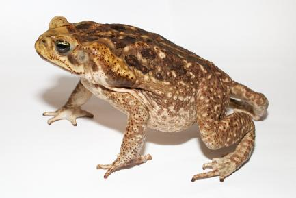 Brownish toad