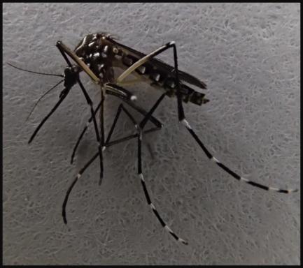 close up of mosquito