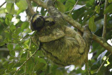 sloth clinging to tree branch