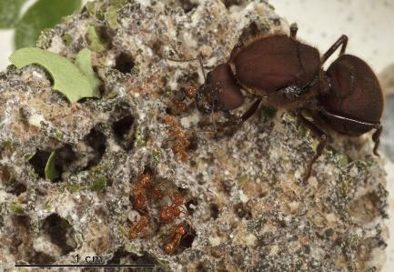 Queen ant in nest