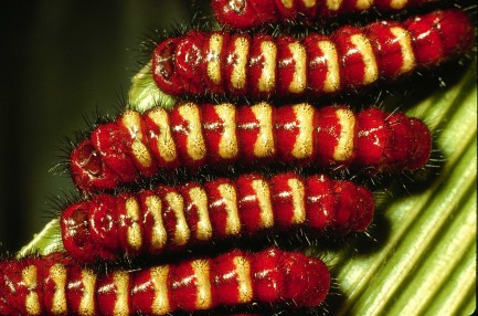 red and yellow caterpillars