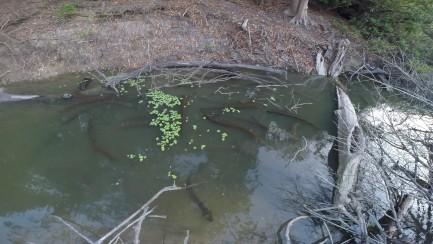 Group of eels seen hunting beneath water