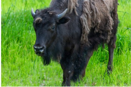 Bison sheddin gits winter coat