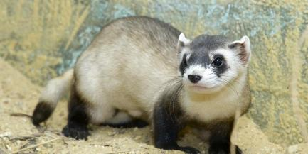 Photo of black-footed ferret