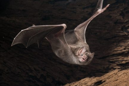 Vampire bat in flight