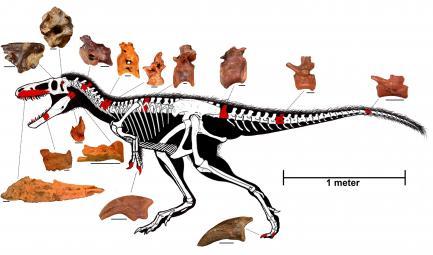 Diagram of skeleton