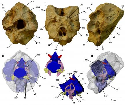 Diagram of braincase