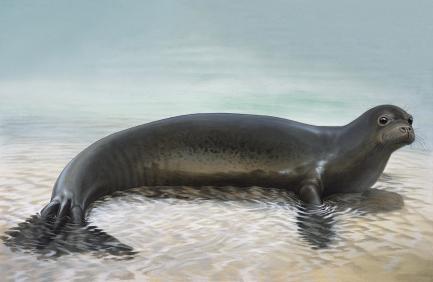 Caribbean Monk Seal