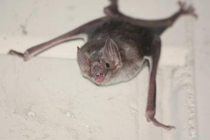 Common vampire bat