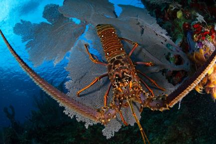Close up of spiny lobster from above