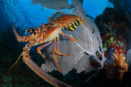 Spiny lobster photographed from the side