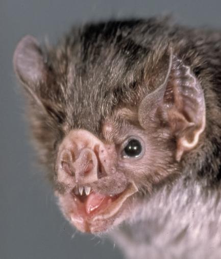close-up of vampire bat