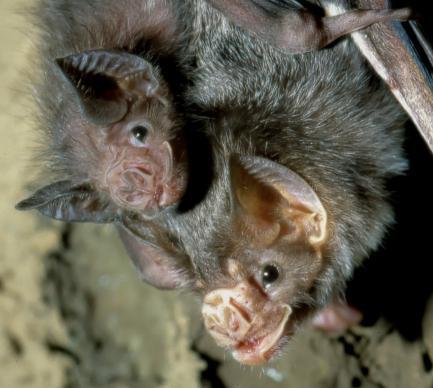 bat with babies