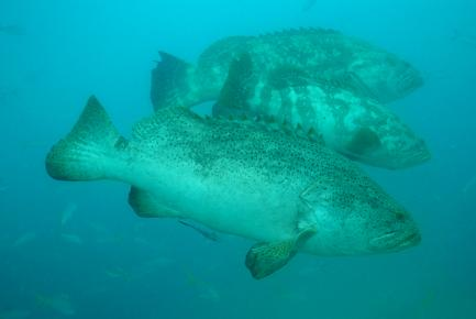Three Goliath groupers
