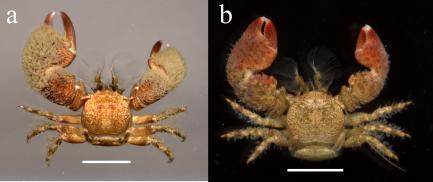Color comparisons of porcelain crab
