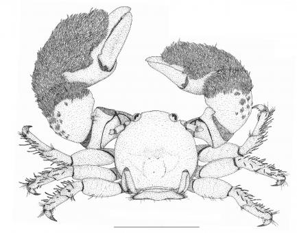 Black and white drawing of porcelain crab
