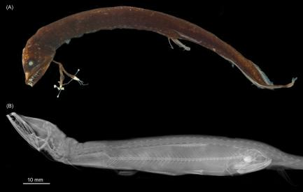 xray images of dragonfish