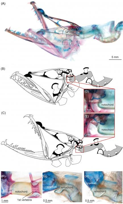 comparison images of dragonfish head joint