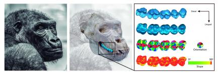 Graphic comparison of gorilla teeth
