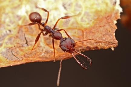 close up of trapjaw ant