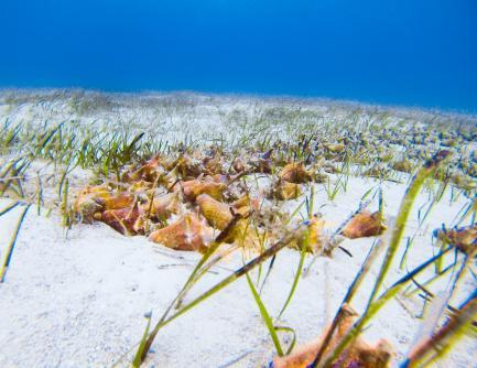 group of queen conch on sea floor