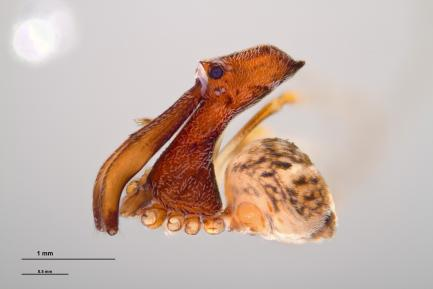 image of pelican spider to scale