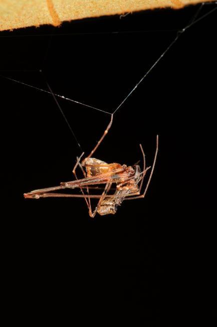 Male Pelican Spider