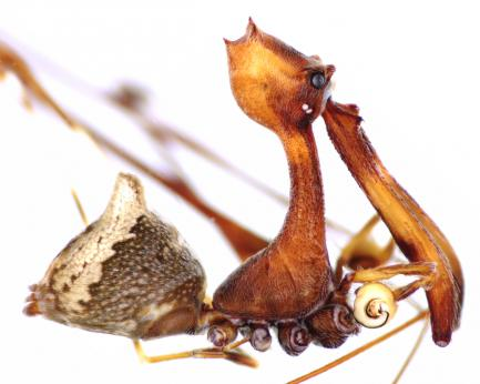lateral view of pelican spider