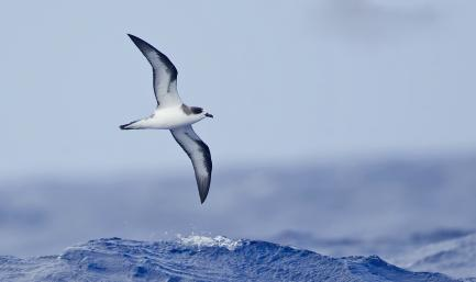 Petrel flying over ocean waves