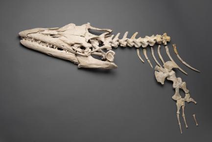 Mososaur skeleton