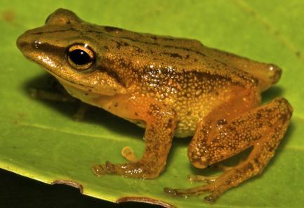 male frog on leaf