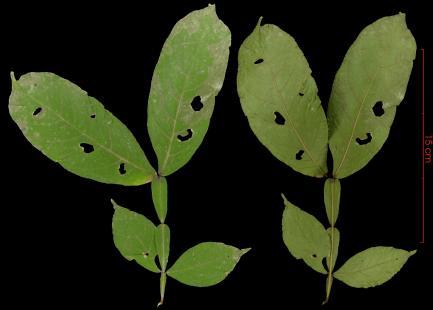 Inga acuminata