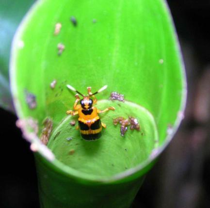 rolled leaf beetles