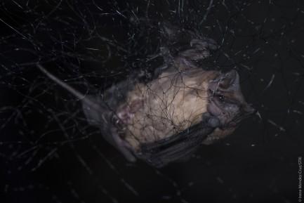 a bat caught in a net