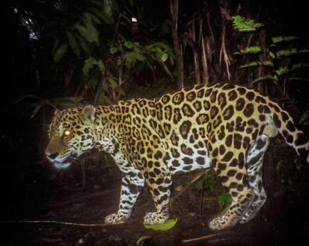 Camera trap photo of jaguar