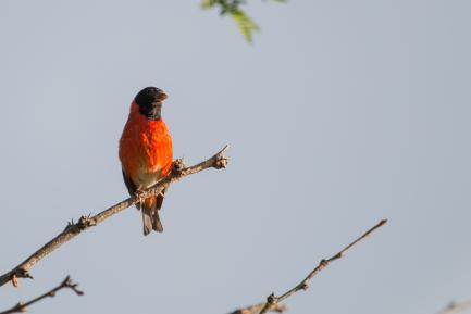 Red siskin bird on branch