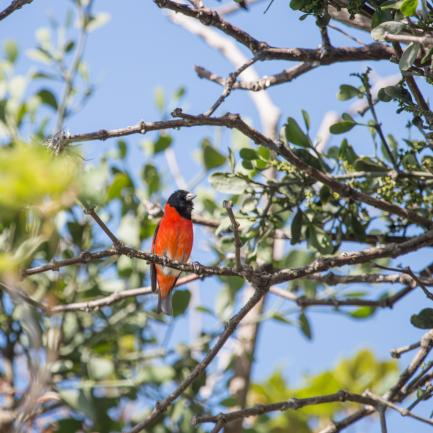 Colorful red siskin on tree branch with leaves